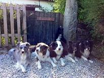 Agility Dogs ...jpg
