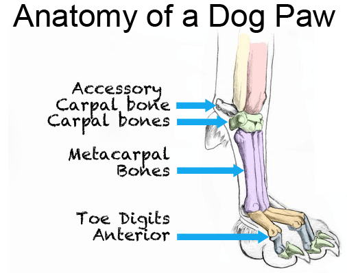 anatomy-of-a-dog-paw-1.png