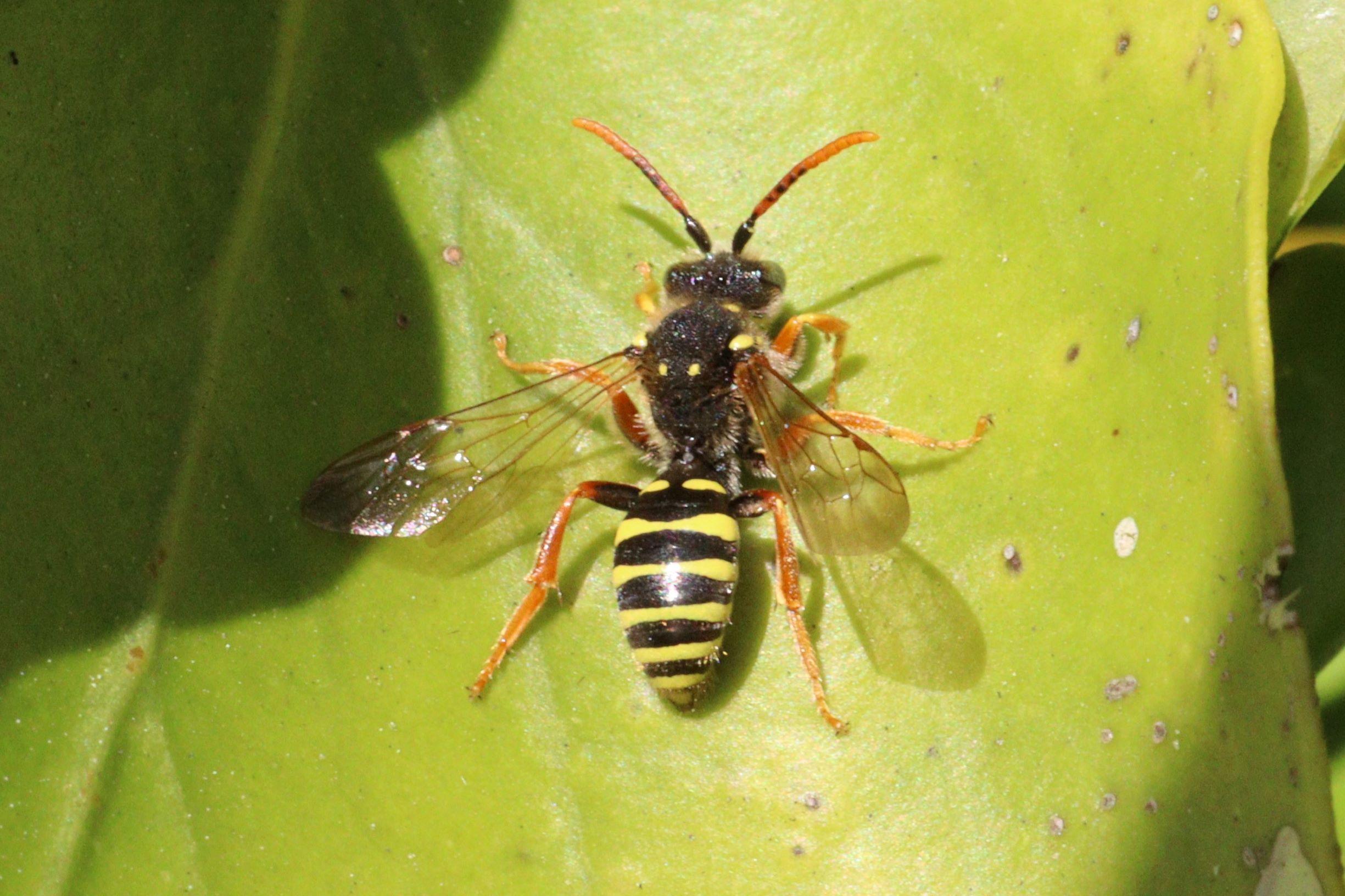 Bee - Nomada goodeniana (Goodens nomad bee).JPG