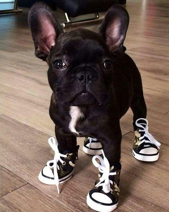 Bulldog French .jpg