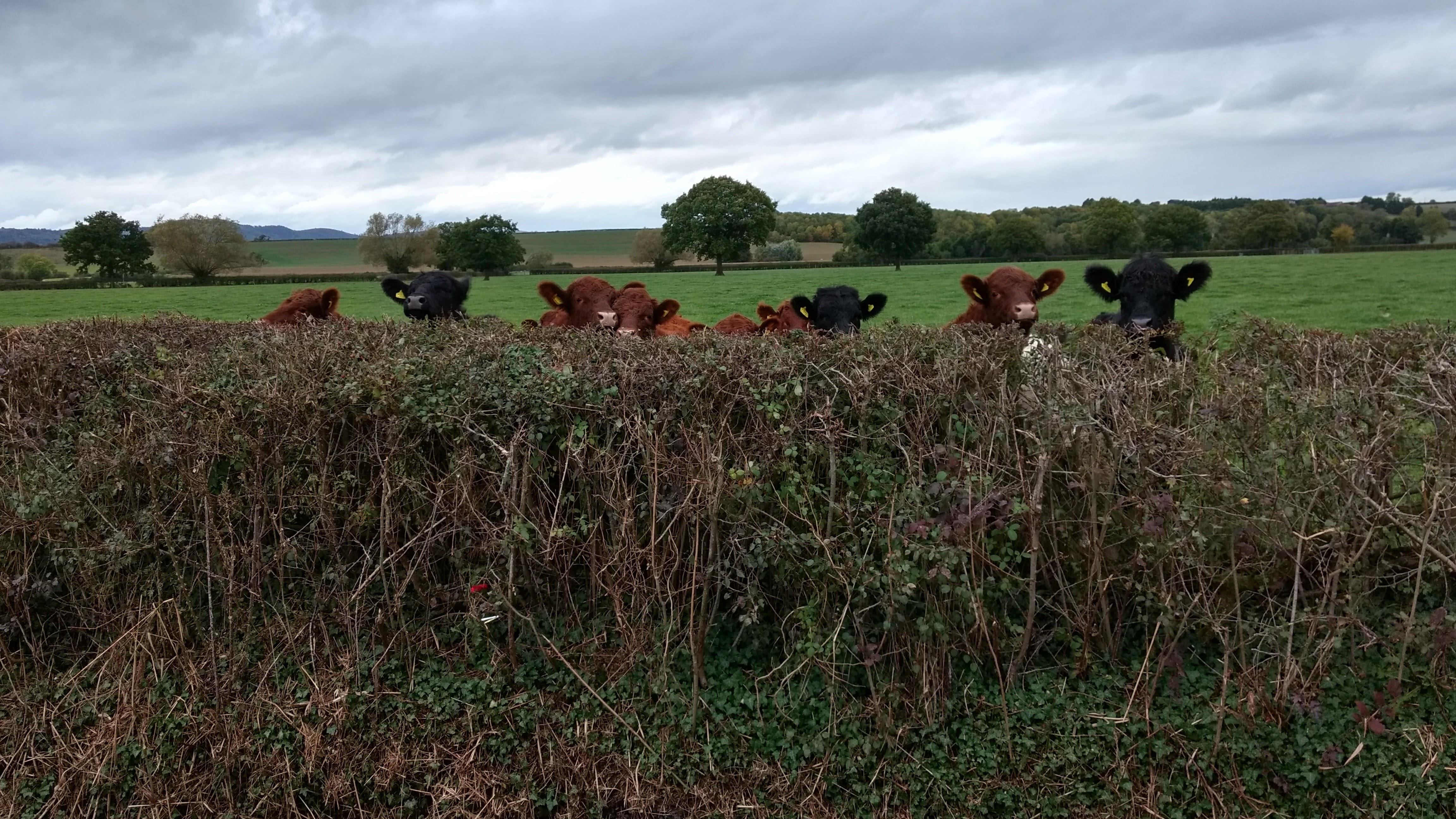 cattle next door.jpg