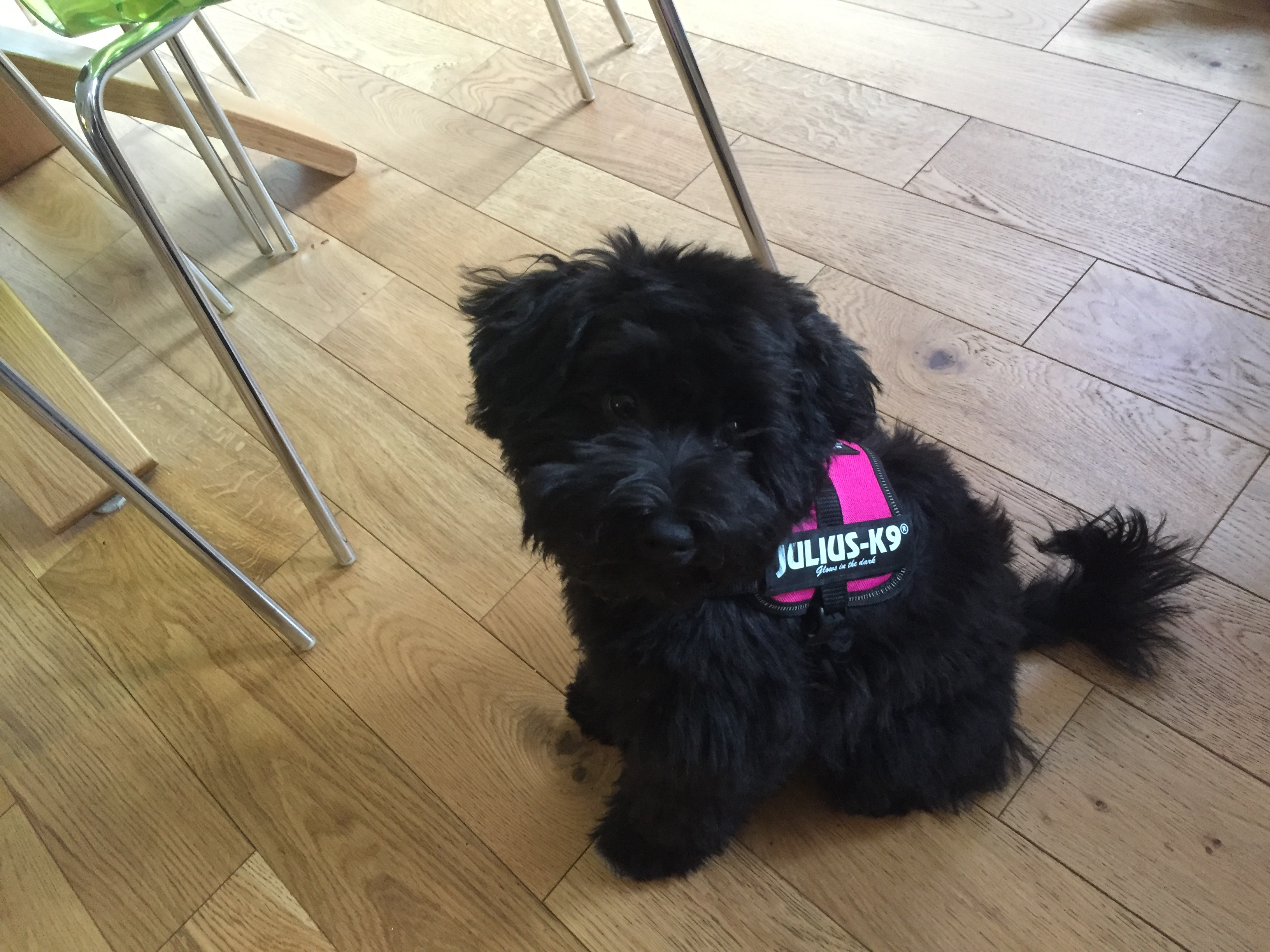 Doris K9 harness.JPG