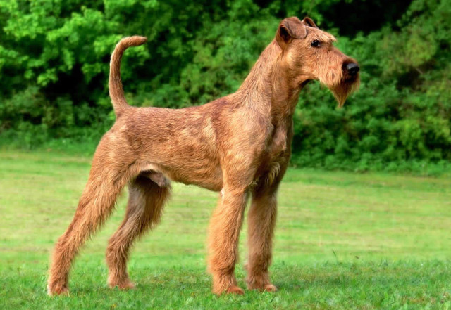 irish-terrier-640x441.jpg