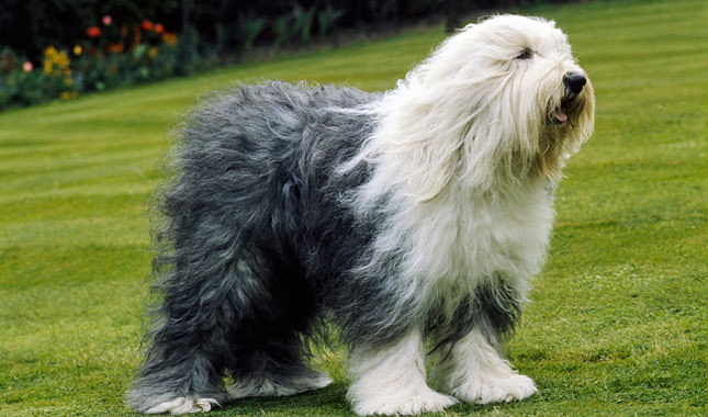 old-english-sheepdog-wallpaper-20.jpg