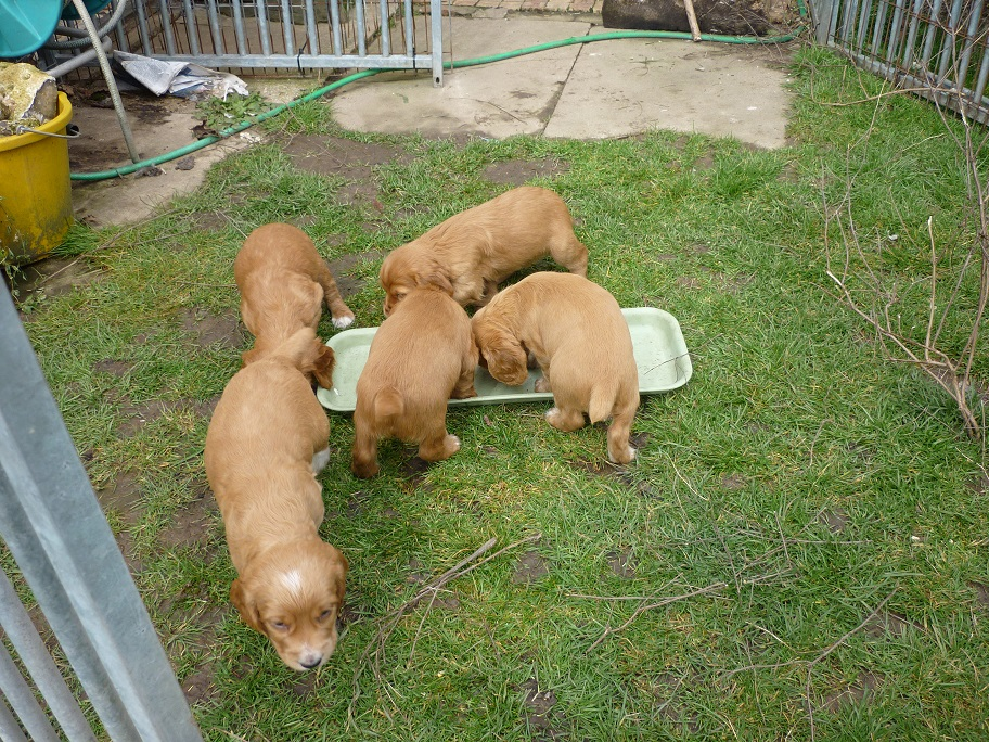 RESIZED SIKA'S puppies 5 weeks 16th March 18 003.jpg