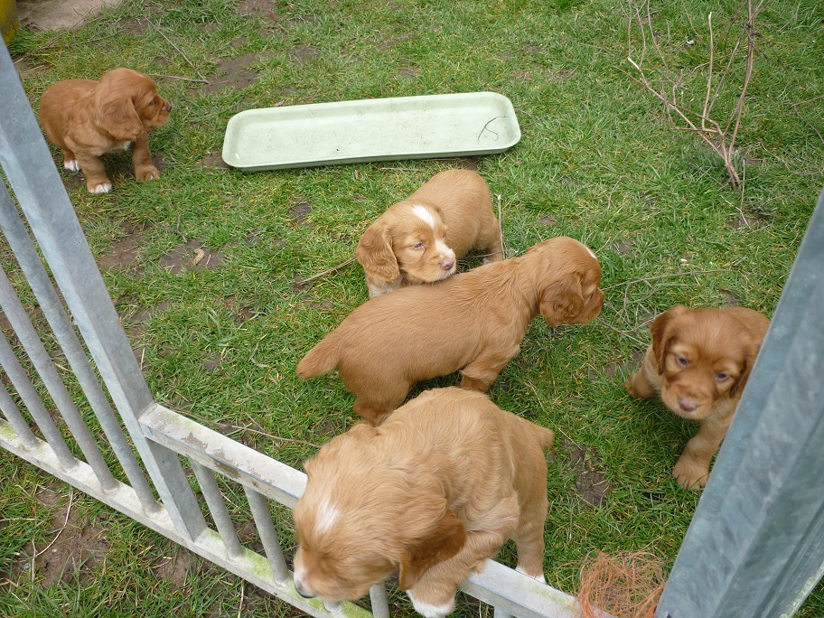 RESIZED SIKA'S puppies 5 weeks 16th March 18 005.jpg