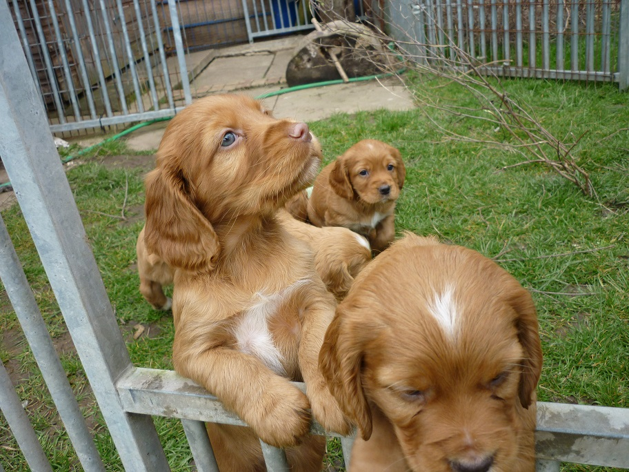 RESIZED SIKA'S puppies 5 weeks 16th March 18 008.jpg
