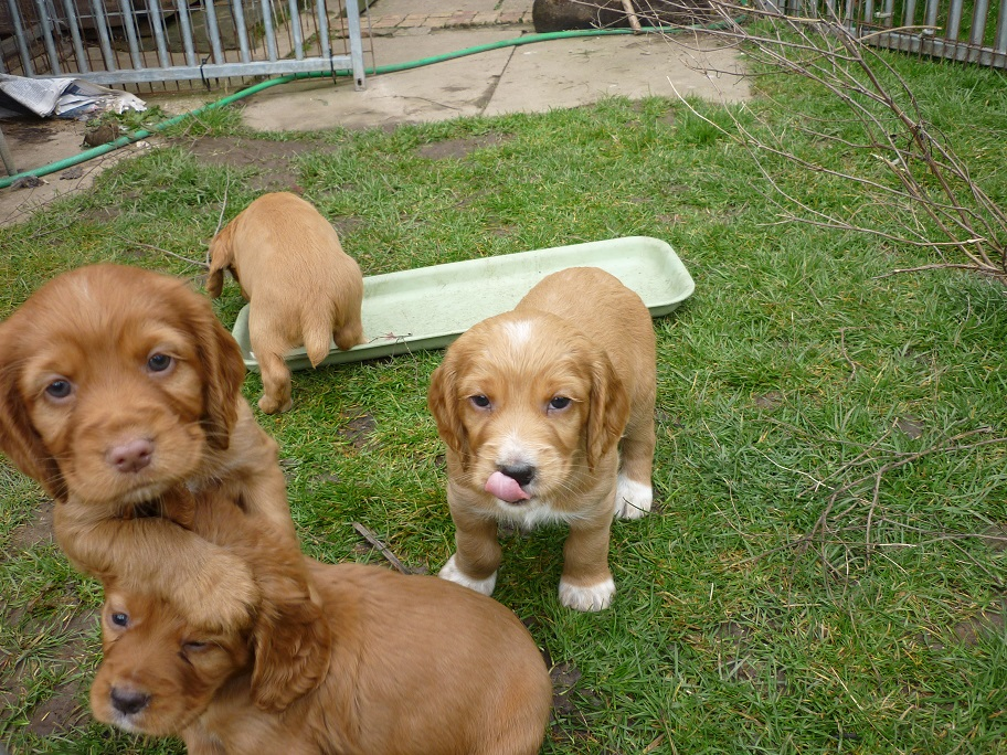 RESIZED SIKA'S puppies 5 weeks 16th March 18 009.jpg