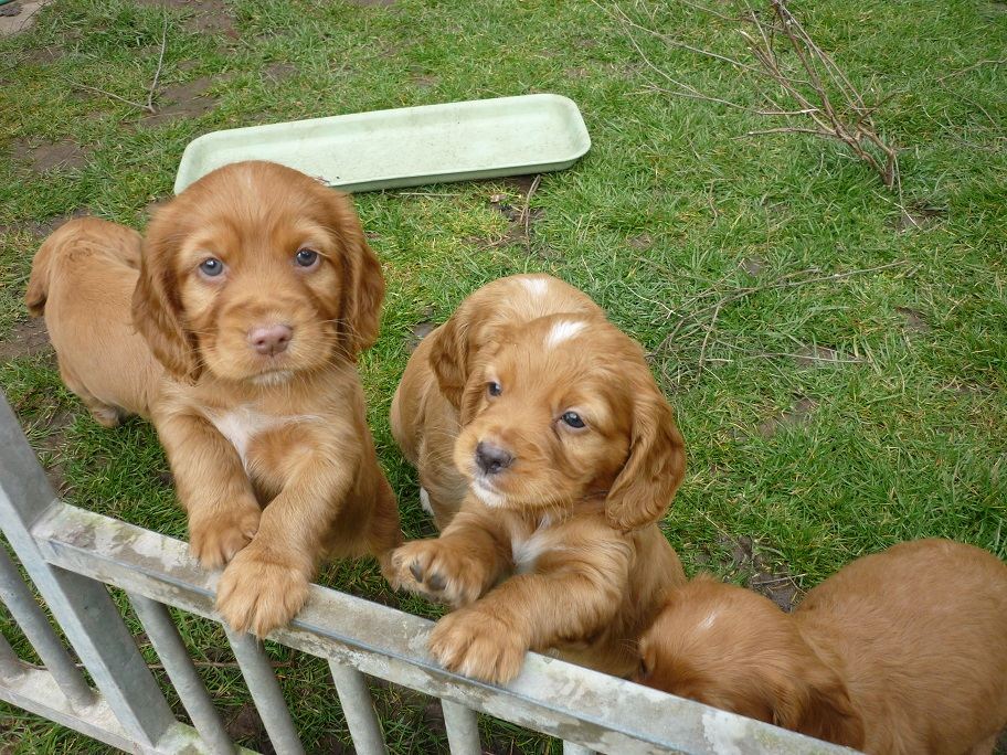 RESIZED SIKA'S puppies 5 weeks 16th March 18 011.jpg