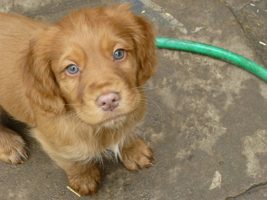RESIZED SIKA'S puppies 7 weeks 31st March 2018 018.jpg