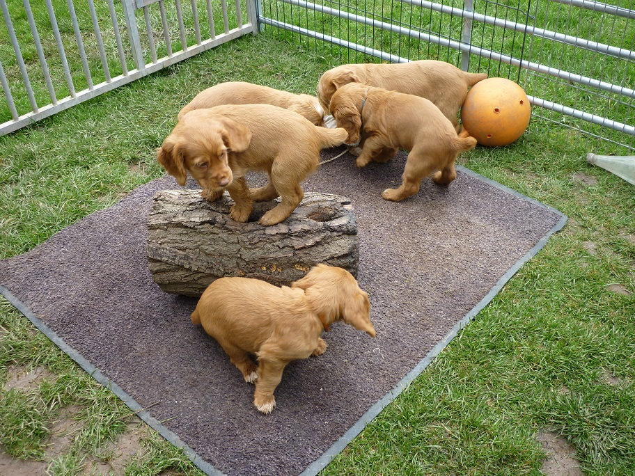 RESIZED SIKA'S puppies 7 weeks 31st March 2018 033.jpg