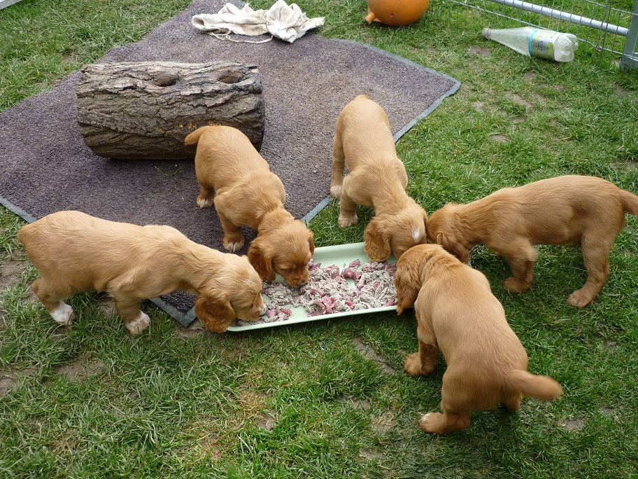 RESIZED SIKA'S puppies 7 weeks 31st March 2018 036.jpg
