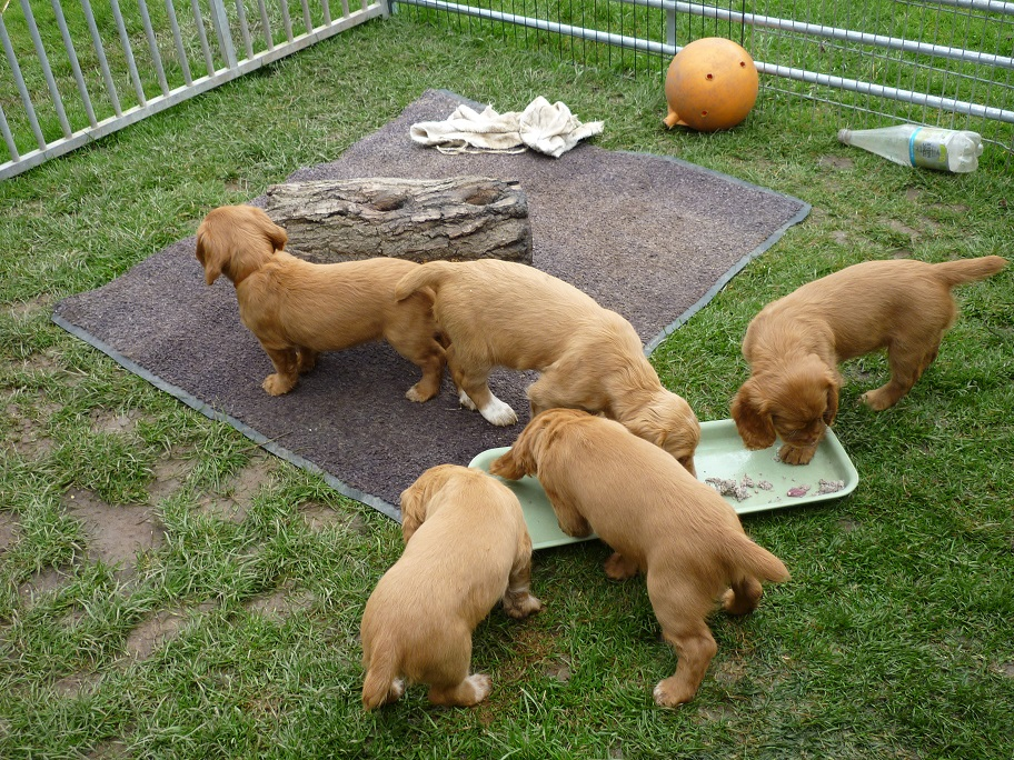 RESIZED SIKA'S puppies 7 weeks 31st March 2018 040.jpg