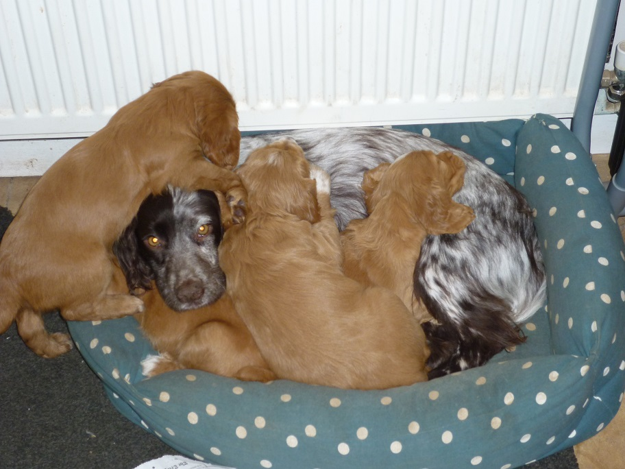 RESIZED SIKA's puppies with Sprinkle 18th March 2018 001.jpg