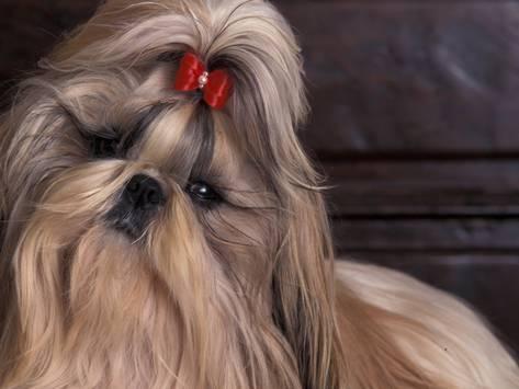 shitzu - hairstyle.jpg