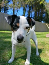 Jack-Russell-Lover